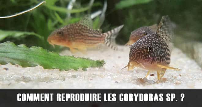 Comment reproduire ses Corydoras Sp. Sterbai ?