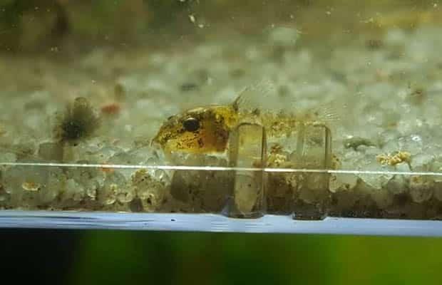 Reproduction Corydoras Sterbai - Alevin j+38