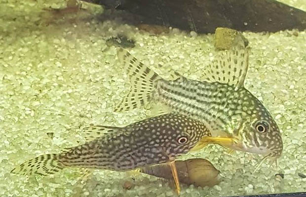 Reproduction Corydoras Sterbai - Parade
