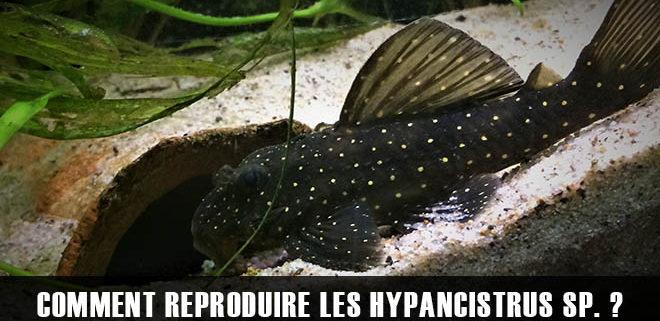 Comment reproduire les hypancistrus sp. L004
