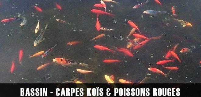 Les carpes KOÏs et poissons rouges. Comment les maintenir en bassin ?